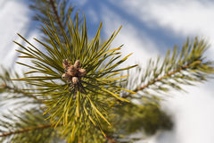 De knoppen op de bovenkant van weinig pijnboom Royalty-vrije Stock Foto