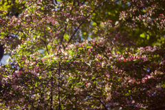 De knoppen van appelbloemen Royalty-vrije Stock Afbeelding
