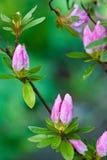 De knoppen van de azalea in regen Royalty-vrije Stock Afbeeldingen