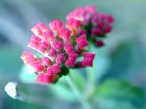 De Knoppen van de bloem Stock Afbeelding