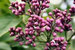 De knoppen van de bloem in de lente Royalty-vrije Stock Foto