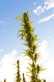 De knoppen van de cannabis Royalty-vrije Stock Afbeeldingen
