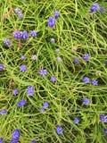 De knoppen van de druivenhyacint Stock Fotografie