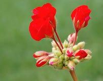 De knoppen van de geranium Stock Foto