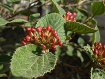 De Knoppen van de hydrangea hortensia Royalty-vrije Stock Foto's