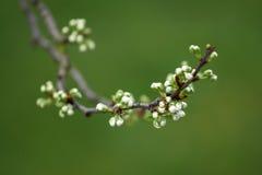 De knoppen van de lente Stock Foto's