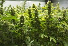 De knoppen van de marihuanabloem Stock Foto