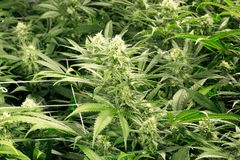 De knoppen van de marihuanabloem Royalty-vrije Stock Afbeeldingen