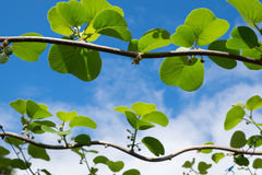 De knoppen van het kiwifruit in een boomgaard Royalty-vrije Stock Foto's