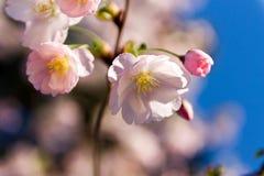 De knoppen van kersenbloesems Sakura romaans Liefde Tederheid Royalty-vrije Stock Foto's