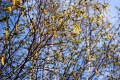 De knoppen van de de lenteberk Royalty-vrije Stock Foto