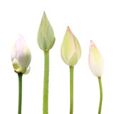 De knoppen van Lotus Stock Afbeeldingen