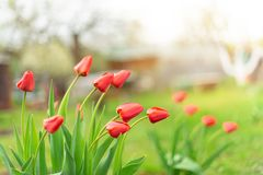 De knoppen van rode tulpen die in een tuin groeien, sluiten omhoog stock fotografie