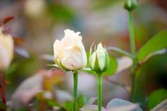 De knoppen van wit stegen dicht op een struik in de tuin royalty-vrije stock afbeelding
