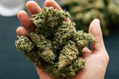 De knoppencannabis ter beschikking van mensenmacro van de marihuana van het cannabisonkruid bloeit met trichomes Royalty-vrije Stock Afbeeldingen