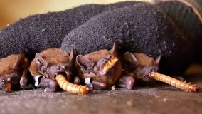 De knuppels eten wormen na de winterwinterslaap stock footage