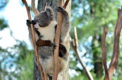 De koala beklimt op een eucalyptusboom Stock Afbeeldingen