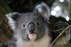 De koala is buidelzoogdieren Australiër, Zuid-Australië Royalty-vrije Stock Afbeeldingen