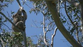 De koala die van Australië gomboom beklimmen stock video