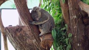 De koala slaapt in een boom Concept dieren in de dierentuin stock footage