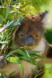 De Koala van Australië Stock Afbeelding