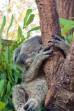 De koala van de slaap op de boom van de Eucalyptus Stock Fotografie