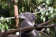 De Koala van Queensland (Phascolarctus cinereusadustus) Stock Afbeelding