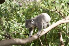 De Koala van Queensland (Phascolarctus cinereusadustus) Royalty-vrije Stock Afbeeldingen