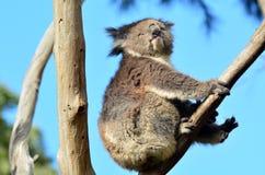 De koala zit op een eucalyptusboom Stock Afbeelding