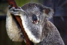 De koalaslaap Stock Foto's