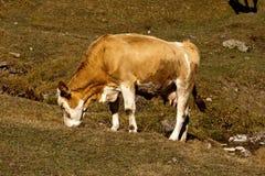 De koe Royalty-vrije Stock Afbeelding