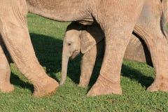 De koe & het kalf van Elaphant van Addo Royalty-vrije Stock Fotografie