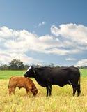 De koe Australisch gekweekt slachtvee van de moeder en van de baby Stock Afbeeldingen