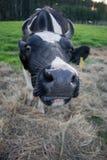De koe bekijkt met verrassing de camera stock afbeelding