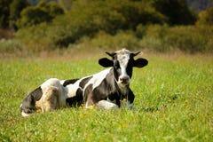 De koe in de weide. Royalty-vrije Stock Afbeelding