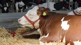 De koe die in het hooi liggen stock video