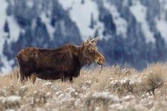 De koe van Amerikaanse elanden Royalty-vrije Stock Foto's