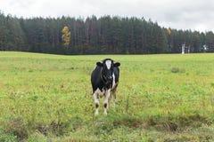 De koe eet gras Stock Afbeeldingen