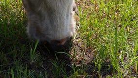 De koe eet het gras stock footage