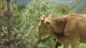De koe eet naald van sparren in de bergen, de Kaukasus, Georgië stock footage