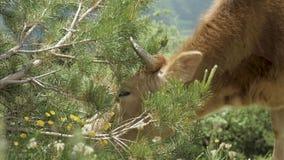 De koe eet naald van sparren in de bergen, de Kaukasus, Georgië stock videobeelden