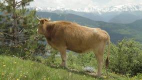 De koe eet naald van sparren in de bergen, de Kaukasus, Georgië stock video