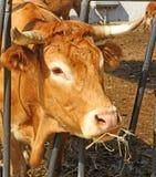 De koe eet stro en hooi in de schuur van het landbouwbedrijf Royalty-vrije Stock Afbeelding