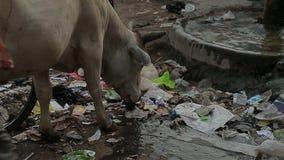 De koe eet vuilnis bij straat De Armoede India van het huisvuilvuil stock videobeelden