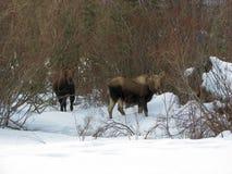 De koe en het kalf van Amerikaanse elanden Stock Fotografie