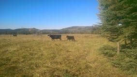 De koe en het kalf van Angus Stock Foto's