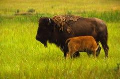 De Koe en het Kalf van de bizon Royalty-vrije Stock Foto