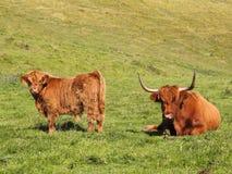 De koe en het kalf van het hoogland Stock Foto's