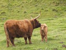 De koe en het kalf van het hoogland Royalty-vrije Stock Afbeelding