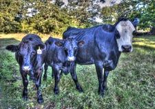 De koe en de kalveren van de landbouwbedrijfmoeder Royalty-vrije Stock Foto